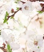 Apricot flowers — Stock Photo