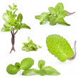 Collection of fresh mint - Stok fotoraf