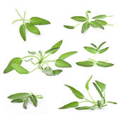 Collection of sage — Stock Photo