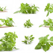 Fresh young basil — Stock Photo