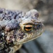 Stock Photo: Earthen frog