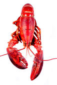 Lobster on white background — Stock Photo