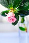 Pink azalia flower — Stock Photo
