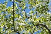 Kwiat jabłoni — Zdjęcie stockowe