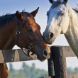 Two loving horses - Photo