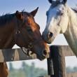 Two loving horses — Stock Photo #8272168