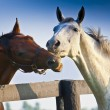 Stock Photo: Two loving horses