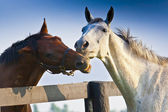 Two loving horses — Stock Photo