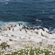 Pelicans and Brandt's Cormorant Birds on white rocks on the Paci — Stock Photo