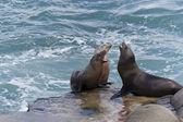加州海狮 — 图库照片
