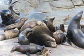 Sea Lions sunbathing on the Pacific Ocean Coast. — Stock Photo