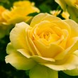 Beautiful yellow rose in a garden. — Stock Photo