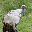 Stock Photo: Cape Griffon Vulture (Gyps coprotheres)