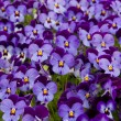 Pansies flowers — Stock Photo