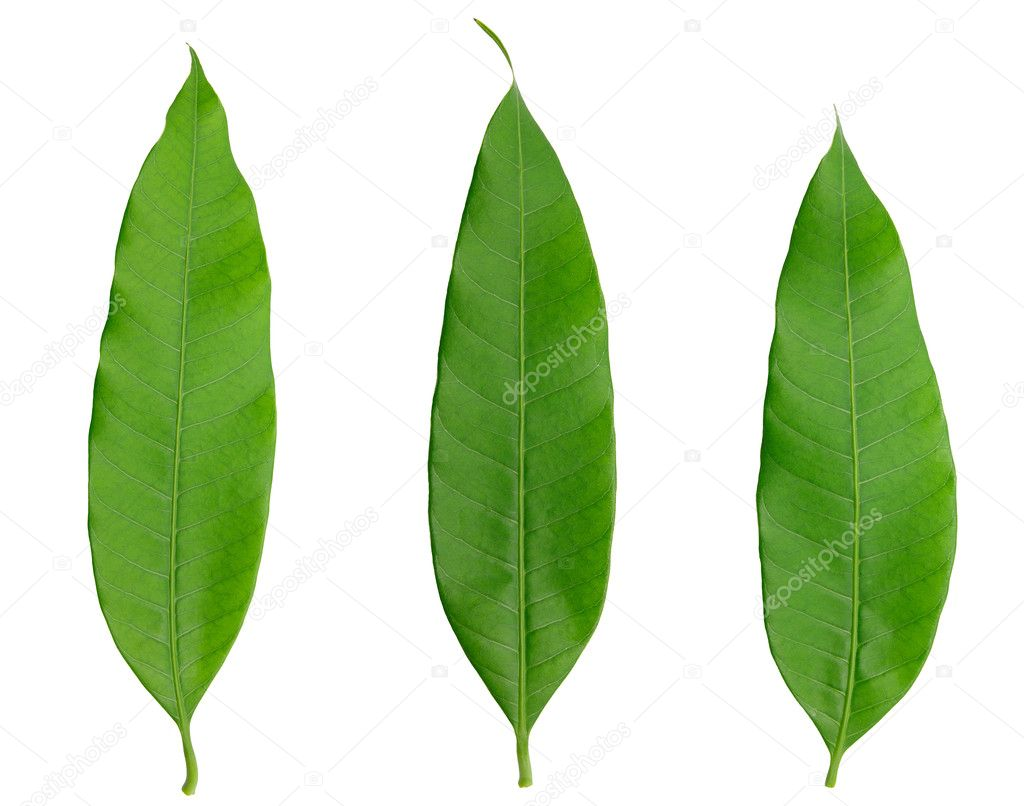 Three green leaf naturally isolated on white — Stock Photo #10044716