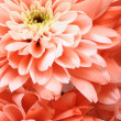 Details of pink flower for background or texture - Foto de Stock  