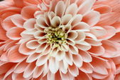 Details of pink flower for background or texture — Stock Photo