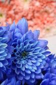 Blau und rosa blumen-aster — Stockfoto