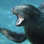 Sea lion underwater in aquarium — Stock Photo #10158351