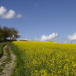 Colza field and blue sky — Stock Photo #10208538