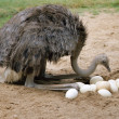 An ostrich and its eggs in its nest — Stock Photo #10212389