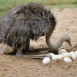 An ostrich and its eggs in its nest - Zdjęcie stockowe