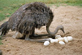 An ostrich and its eggs in its nest — Stock Photo