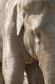 Cerca de un elefante — Foto de Stock