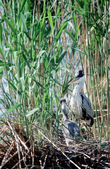 Grey Heron and its baby on the nest — Stock Photo