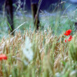 Wheat field, poppy, and wood barrier — Stock Photo