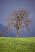 Tree by winter time on green grass and dark sky — Stock Photo