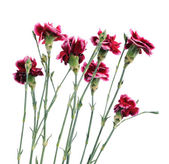 Delicate little flowers carnations isolated on white background — Stock Photo