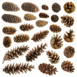 Big set of cones various coniferous trees isolated on white - Foto Stock