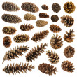 Big set of cones various coniferous trees isolated on white - Zdjcie stockowe