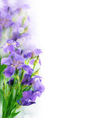 Iris krásné květinové pozadí — Stock fotografie