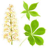 Chestnut isolated on white. Aesculus hippocastanum. Blossom of horse-chestnut tree. — Stock Photo