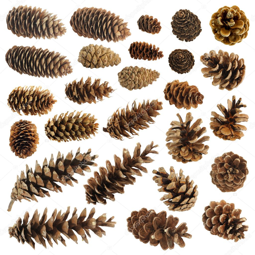 Big set of cones various coniferous trees isolated on white  Stock Photo #10491721