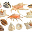 Stock Photo: Set of seshells isolated