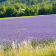 Provance lavander field - Stock Photo
