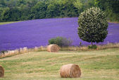 Provance lavander field — Stock Photo