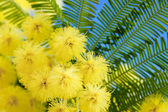 Mimosa flowers cloose up — Stock Photo