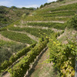 A vineyard of Cinque Terre,Liguria Italy - Stock Photo