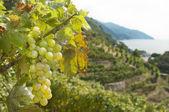 A vineyard of Cinque Terre,Liguria Italy — Stock Photo
