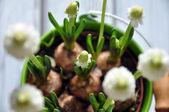 White muskary in pot — Stock Photo