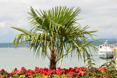 Palme im Hafen der Insel Mainau — Stock Photo
