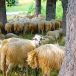 Sheep in the country of Montenegro — Stock Photo