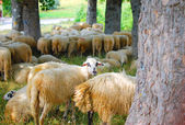 Sheep in the country of Montenegro — Стоковое фото