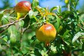Granatäpple på en solig dag i grekland — Stockfoto