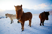 Flock of Icelandic horses grazing in the meadow — Stock Photo