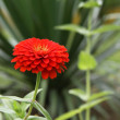 Red flower — Foto Stock